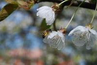abeille sur cerisier reduit