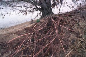 Système racinaire d'un peuplier noir (Populus nigra)