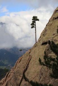 Implantation exceptionnelle d'un pin au niveau d'une faille rocheuse en altitude