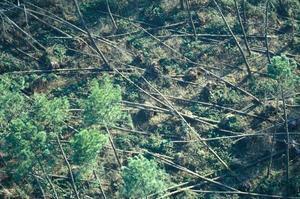 Dévastation de la foret landaise causée par la tempête hivernale de décembre 1999