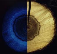 Observation sous U.V. d'une rondelle de bois de noyer