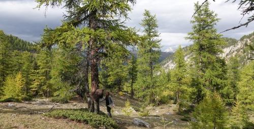 Larch_trees