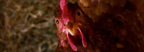 L'ostéoporose chez les poules
