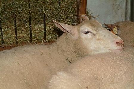 Tête de mouton de race INRA 401 (Romane). Race obtenue par croisement d'animaux Romanov et Berrichon de Cher. Adaptée à tous type les systèmes et tous les types de production.