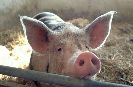 Porc piétrain, Bergerie Nationale de Rambouillet