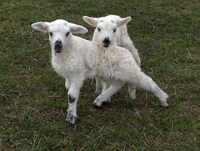 Jeunes agneaux au paturage.