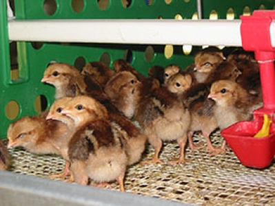 Poules EOPS