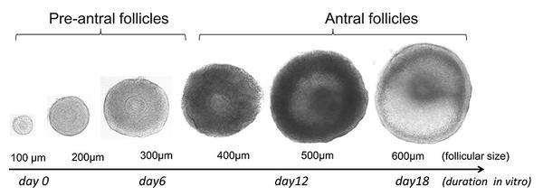Figure-1-follicules-ovariens