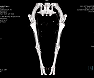 Image acquise au CT scan d'un bassin et de membres postérieurs d'une brebis