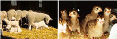 brebis et leurs agneaux, jeunes cailles