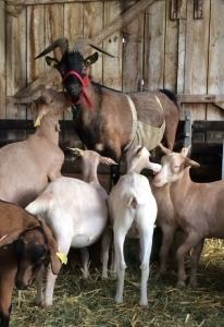 Bouc et chèvres
