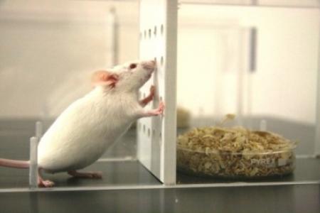 Test de préférence olfactive chez la souris