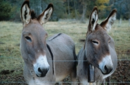 Races d'ânes