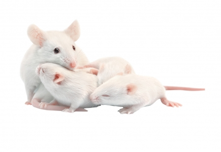 Souris blanches