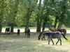 Groupe de chevaux au pré