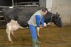 Animalier et vache : confiance réciproque