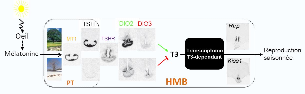 Cascade de transduction du message photopériodique dans l'hypothalamus médiobasal (HMB)