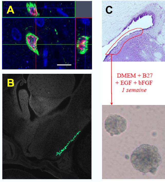 Ontogénèse des neurones Kiss